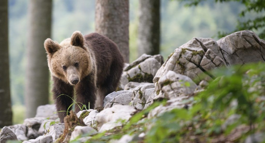 A bear explores the forest above the small village of Markovec, Slovenia, on June 27, 2018. Once on the verge of extinction, Slovenia's brown bear population is booming, with the number roaming the sprawling forests having doubled in the last decade to around 1,000. As a result, encounters with bears have increased -- not that it seems to unduly worry everyone. Lying an hour to the west, near Markovec village, Mlakar has built 20 hides in a remote patch of forest reachable only by off-road vehicle and takes visitors, including foreign tourists, to observe the bears. / AFP PHOTO / Jure Makovec