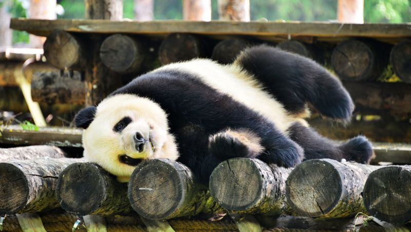 This picture taken on June 19, 2018 shows a panda resting in its enclosure at Beijing Zoo in Beijing.