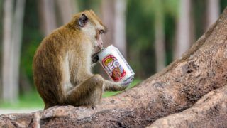 Crab-eating Macaque (Macaca fascicularis) intrigued by a can of beer, Hat Chao Mai national park, Thailand.    Biosphoto / Patrice Correia