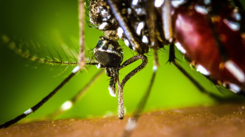 The proboscis of an Aedes albopictus mosquito feeding on human blood. This mosquito, also known as the Asian Tiger Mosquito, is a known West Nile Virus vector. Photo by James Gathany, Centers for Disease Control  Paris, France   CDC/PHANIE
