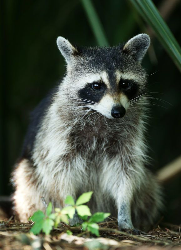 PONTE VEDRA BEACH, FL - MAY 09:  A raccoon sits in the bushes during round one of THE PLAYERS Championship at THE PLAYERS Stadium course at TPC Sawgrass on May 9, 2013 in Ponte Vedra Beach, Florida.  (Photo by Andy Lyons/Getty Images)