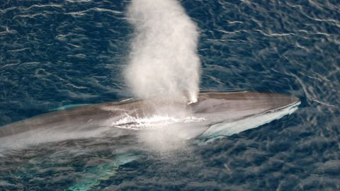 Fin Whale blowing off the California coast