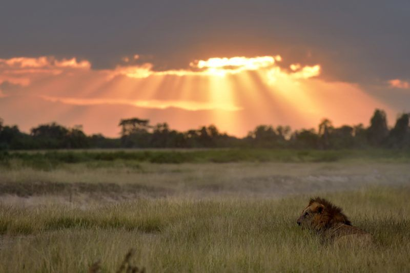 A male lion sits in the tall grass at dusk at the Ambosel National Park June 21, 2018.  Amboseli is among the most renowned case studies in the world for elephant population and behavioural factors with the last official count of the perchyderms, carried out in the year 2011, yielding some 1200 animals. Preparations are underway for an Elephant aerial census over the 392 square-kilometre park with trial runs kicking off in June. / AFP PHOTO / TONY KARUMBA
