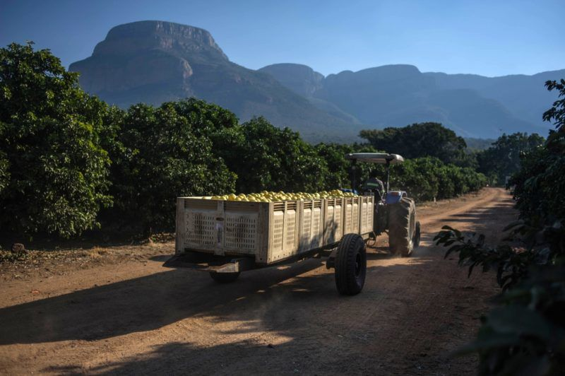 A tractor carrying fruits leave a farm which was successfully claimed back by the mainly black community and then leased to the former white owner, on June 7, 2017 in Hoedspruit, South Africa.  / AFP PHOTO / MUJAHID SAFODIEN