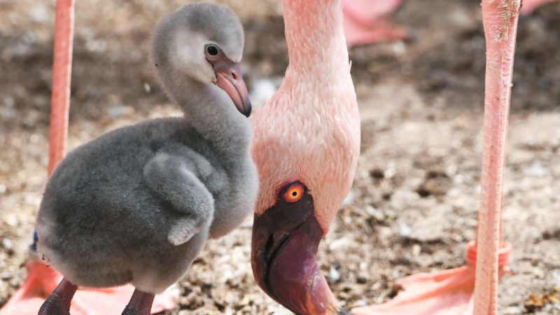 A one-week-old lesser flamingo seen nexto to its parent at the zoo in Karlsruhe, Germany, 05 May 2017. According to the zoo, only a few zoos inGermany have managed to breed lesser flamingos. Photo: Uli Deck/dpa