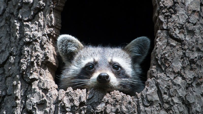 17 July 2018, Moritzburg, Germany: A North American raccoon sits in a hollow tree trunk in the game enclosure. Photo: Monika Skolimowska/dpa-Zentralbild/ZB