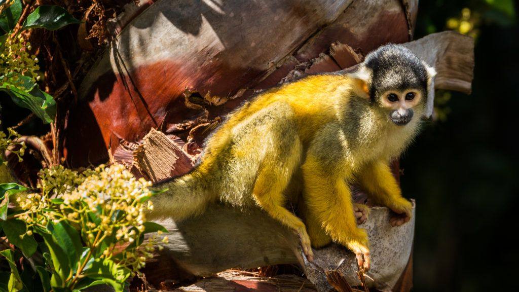 Squirrel monkey also known as Saimiri boliviensis. Sitting on a tree trunk in the sun.