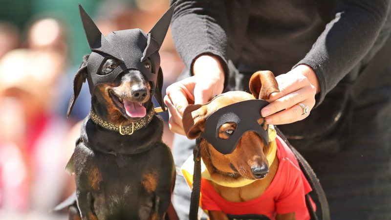 MELBOURNE, AUSTRALIA - OCTOBER 13:  Dachshunds dressed as Batman and Robin compete in The Best Dressed Dachshund Costume Competition during the annual Teckelrennen Hophaus Dachshund Race and Costume Parade on October 13, 2018 in Melbourne, Australia. The annual 'Running of the Wieners' is held to celebrate Oktoberfest.  (Photo by Scott Barbour/Getty Images)
