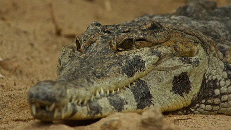 African Slender Snouted Crocodile