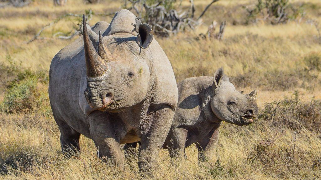 Black Rhino and 6 month old calf in Eastern Cape, South Africa