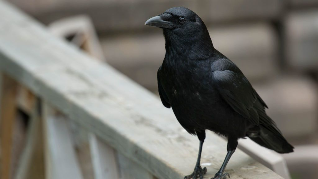 American Crow standing on a fence rail.