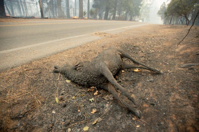 A dead animal lays on the side of the road as the Camp fire tears through Paradise, California on November 8, 2018. - More than 18,000 acres have been scorched in a matter of hours burning with it a hospital, a gas station and dozens of homes. (Photo by Josh Edelson / AFP)