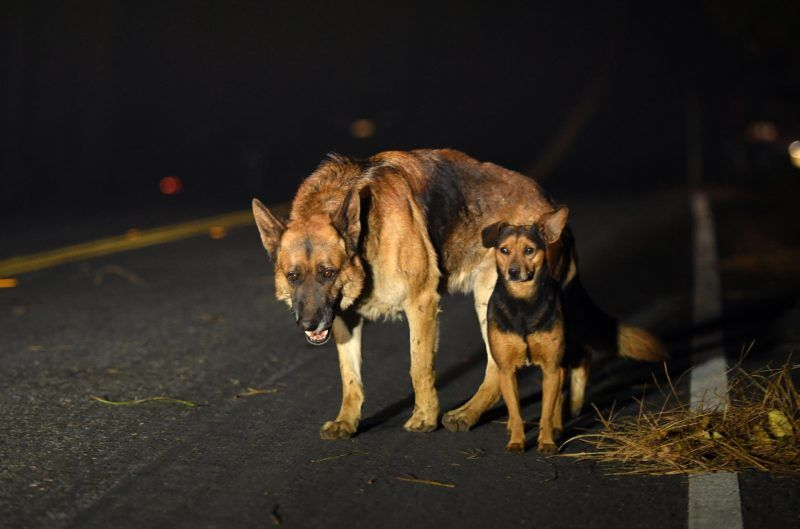 Dogs roam burned out neighborhoods as the Camp fire tears through Paradise, north of Sacramento, California on November 08, 2018. - More than one hundred homes, a hospital, a Safeway store and scores of other structures have burned in the area and the fire shows no signs of slowing. (Photo by Josh Edelson / AFP)