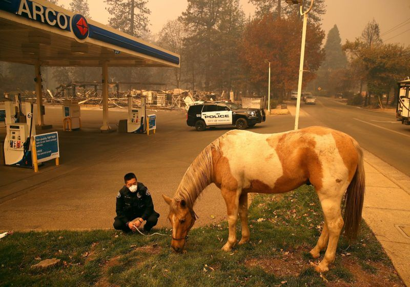PARADISE, CA - NOVEMBER 09: Rocklin police officer Randy Law tends to a horse that was found wandering after the Camp Fire moved through the area on November 9, 2018 in Paradise, California. Fueled by high winds and low humidity, the rapidly spreading Camp Fire ripped through the town of Paradise and has quickly charred 70,000 acres and has destroyed numerous homes and businesses in a matter of hours. The fire is currently at five percent containment.   Justin Sullivan/Getty Images/AFP