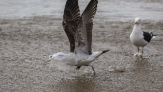A seagull struggles to take flight covered by a plastic bag, on the seashore at Caleta Portales beach in Valparaiso, Chile on July 17, 2018. - The international community has recently become far more sensitive to the environmental problems created in particular by single-use plastics. Chile has been one of the countries leading the way in Latin America against the use of plastic bags. In 2014 the government of Michelle Bachelet banned them in Chilean Patagonia and last year extended that to coastal areas, but now its days are numbered by law and a cultural change is needed. (Photo by CLAUDIO REYES / AFP)