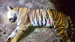 """This handout photo released by the Maharashtra Forest Department on November 3, 2018 shows the dead body of the tiger known to hunters as T1 after being shot in the forests of India's Maharashtra state near Yavatmal. - A man-eating tiger that claimed more than a dozen victims in two years has been shot dead in India, sparking controversy over the legality of its killing. One of India's most high-profile tiger hunts in decades ended November 2 when the mother of two 10-month old cubs -- known to hunters as T1 but Avni to wildlife lovers -- was shot dead in the jungles of Maharashtra state. (Photo by Handout / MAHARASHTRA FOREST DEPARTMENT / AFP) / -----EDITORS NOTE --- RESTRICTED TO EDITORIAL USE - MANDATORY CREDIT """"AFP PHOTO / MAHARASHTRA FOREST DEPARTMENT """" - NO MARKETING - NO ADVERTISING CAMPAIGNS - DISTRIBUTED AS A SERVICE TO CLIENTS"""