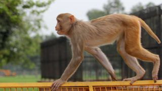 A monkey can be seen on a [police barricade near India Gate in new Delhi (Photo by Nasir Kachroo/NurPhoto)