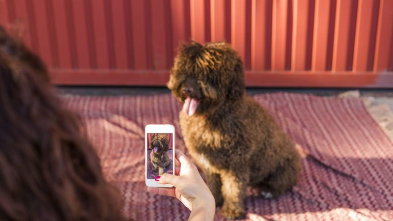 Woman hands with mobile smart phone taking a photo of Spanish water dog over red background. Happy dog with tongue out. Outdoors portrait