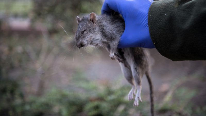 A volunteer shows a dead rat which was probably killed by a dog during a rat extermination operation in Paris on September 20, 2018. (Photo by Christophe ARCHAMBAULT / AFP)