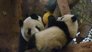 VIENNA, AUSTRIA –  MARCH 09 : Fu Feng, the twin female panda (R), plays with her mother, Yang Yang (L) at Vienna Zoo, Vienna, Austria on March 09, 2017. Fu Feng is the most active of the twins and always tries to climb higher, as Fu Ban, the twin male, prefers to relax. Omar Marques / Anadolu Agency