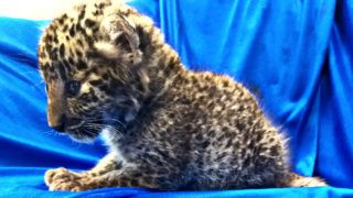 """This handout picture released by Customs Chennai International Airport and taken on February 2, 2019, shows a leopard cub after it was seized from a checked baggage of a passenger travelling from Bangkok, at Chennai International airport. - Indian authorities on February 2 arrested a passenger from a southern airport over smuggling a month-old leopard cub in a grocery basket from Bangkok, officials said. The cub, weighing just over one kilogram (2.4 pounds), was found in a plastic basket hidden inside a bag after the passenger arrived on a Thai airlines flight to Chennai airport. (Photo by Handout / Customs Chennai International Airport / AFP) / -----EDITORS NOTE --- RESTRICTED TO EDITORIAL USE - MANDATORY CREDIT """"AFP PHOTO /CUSTOMS CHENNAI INTERNATIONAL AIRPORT """" - NO MARKETING - NO ADVERTISING CAMPAIGNS - DISTRIBUTED AS A SERVICE TO CLIENTS"""