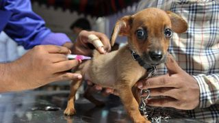 An Indian veterinary clinic employee gives a rabies vaccination to a pet dog at a free vaccination camp at the Government Super Speciality Veterinary Hospital on the occasion of World Zoonoses Day in Hyderabad  on July 6, 2016.Indian Immunologicals  Limited conducted a free vaccination camp in the city free of cost on the occasion of World Zoonoses Day at government hospitals across the city. (Photo by NOAH SEELAM / AFP)