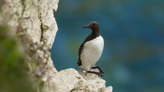 A Common Guillemot (Cepphus grylle) standing on a rock ledge on chalk cliffs agianst a blurred background of the sea at Flamborough Headland, East Yorkshire, UK