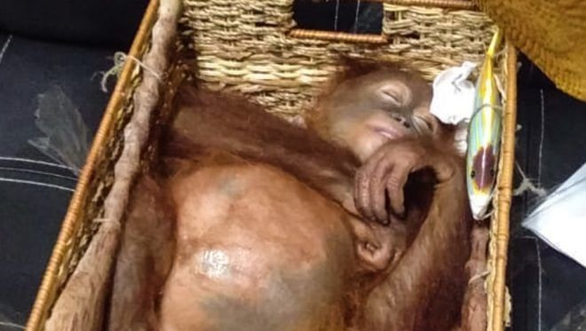 """This handout picture taken and released on March 23, 2019 by the Natural Resources Conservation Agency of Bali shows a rescued two-year-old orangutan resting inside a rattan basket, after a smuggling attempt by a Russian tourist at Bali's international airport in Denpasar. - Indonesian authorities on March 22 arrested a Russian tourist for attempting to smuggle an orangutan out of the country in his suitcase. (Photo by Handout / Natural Resources Conservation Agency of Bali / AFP) / RESTRICTED TO EDITORIAL USE - MANDATORY CREDIT """"AFP PHOTO / NATURAL RESOURCES CONSERVATION AGENCY OF BALI"""" - NO MARKETING NO ADVERTISING CAMPAIGNS - DISTRIBUTED AS A SERVICE TO CLIENTS"""