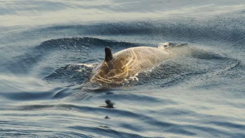 Extremely rare and infrequently observe, a male Cuvier's Beaked Whale breaks surface in the clear, deep waters of the Bay of Biscay, before diving to a depth of over a thousand metres in search of food.