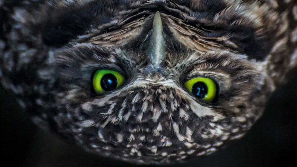 A burrowing owl staring at the camera with it's giant green eyes.