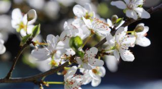 01 April 2019, Berlin: In bright sunshine and temperatures around six degrees Celsius the flowers of an apricot tree open. Photo: Wolfgang Kumm/dpa