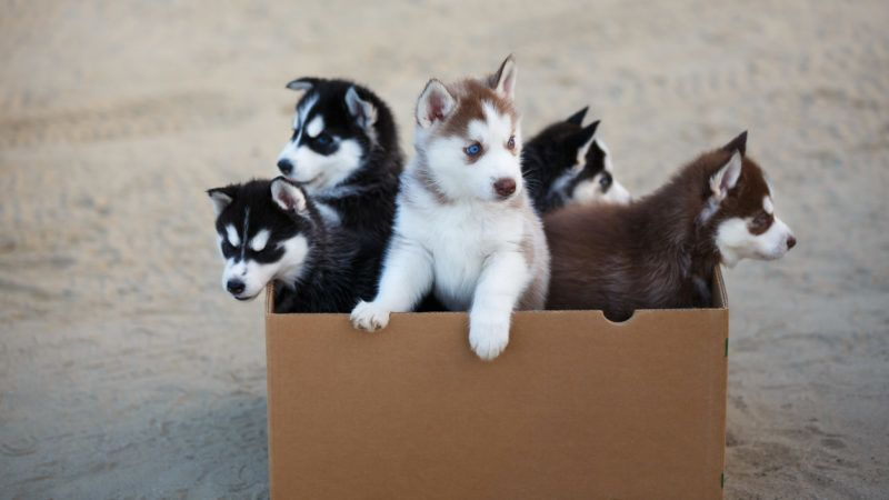 Group of husky puppies inside the box at summer time