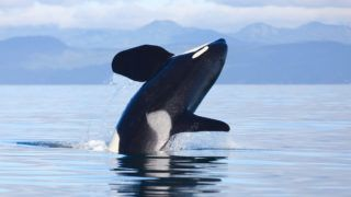 Southern Resident male killer whale K35 in Juan de Fuca strait as J's & K's make their way back into the waters of the Salish Sea.
