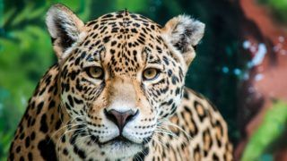 Looking directly into Jaguar's eyes