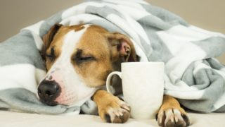 Lazy staffordshire terrier puppy wrapped in plaid snoozes in comfortable bed and relaxes