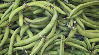 Broad beans (Vicia faba) in pods for background