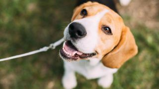 Beautiful Tricolor Puppy Of English Beagle Sitting On Green Grass. Beagle Is A Breed Of Small Hound, Similar In Appearance To The Much Larger Foxhound. Smiling Dog