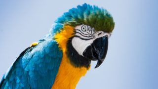 Closeup portrait of a blue and yellow Macaw parrot (Ara ararauna) in Lanzarote, Canary Islands, Spain. (Closeup portrait of a blue and yellow Macaw parrot