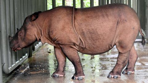 This picture taken on November 8, 2016 shows Andatu, a Sumatran rhino, one of the rarest large mammals on earth, at his enclosure at the Rhino Sanctuary at Way Kambas National Park in eastern Sumatra. - There are no more than 100 left on the entire planet and Andatu -- a four-year old male -- is one of the last remaining hopes for the future of the species. He is part of a special breeding programme at Way Kambas National Park in eastern Sumatra that is trying to save this critically endangered species from disappearing forever. (Photo by GOH CHAI HIN / AFP)