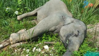 """This undated handout photo released by Malaysia's Department of Wildlife and National Parks on June 7, 2019 shows a dead elephant laying on the ground in Kluang, Malaysia's southern state of Johor. - Three elephants were poisoned to death near a palm oil plantation in Malaysia, officials said June 7, in the latest case of the endangered creatures being killed near human settlements. (Photo by Handout / Malaysia Department of Wildfife and National Parks / AFP) / -----EDITORS NOTE --- RESTRICTED TO EDITORIAL USE - MANDATORY CREDIT """"AFP PHOTO / MALAYSIA'S DEPARTMENT OF WILDLIFE AND NATIONAL PARKS """" - NO MARKETING - NO ADVERTISING CAMPAIGNS - DISTRIBUTED AS A SERVICE TO CLIENTS  - NO ARCHIVE"""
