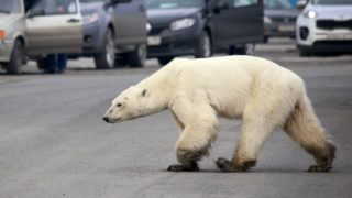 A stray polar bear walks on a road on the outskirts of the Russian industrial city of Norilsk on June 17, 2019. - A hungry polar bear has been spotted on the outskirts of Norilsk, hundreds of miles from its natural habitat, authorities said on June 18, 2019. (Photo by Irina Yarinskaya / Zapolyarnaya pravda newspaper / AFP)