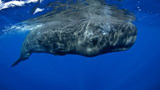 A giant sperm whale surfaces to breath.