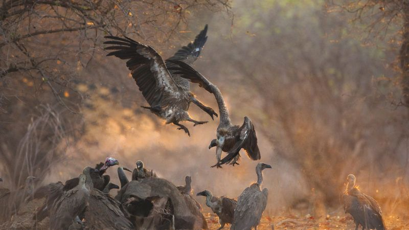 2 white backed vultures squabbling over a buffalo kill in dawn light.