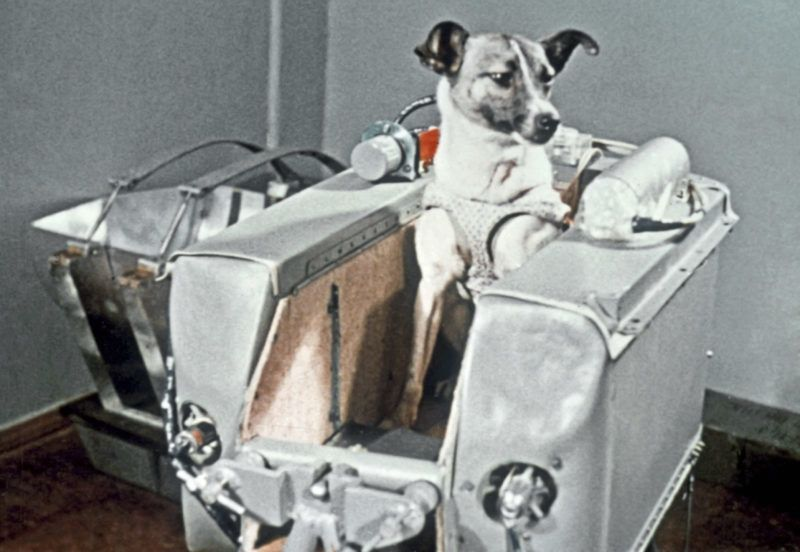 The dog Laika sitting in the container of the 2nd Soviet satellite in which it flew into space on November 3, 1957.