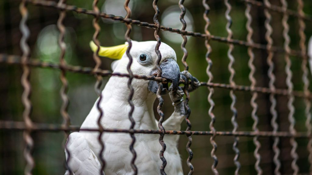 Close up white bird or Sulphur-crested cockatoo in a cage of zoon. Space for text.