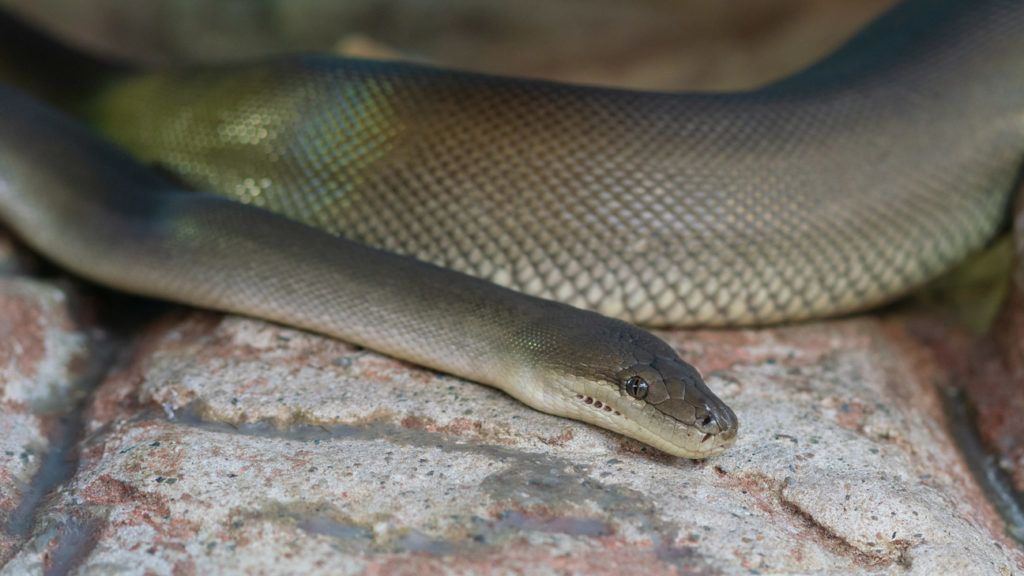 Close-up view of an Olive Python or Liasis olivaceus in Australia
