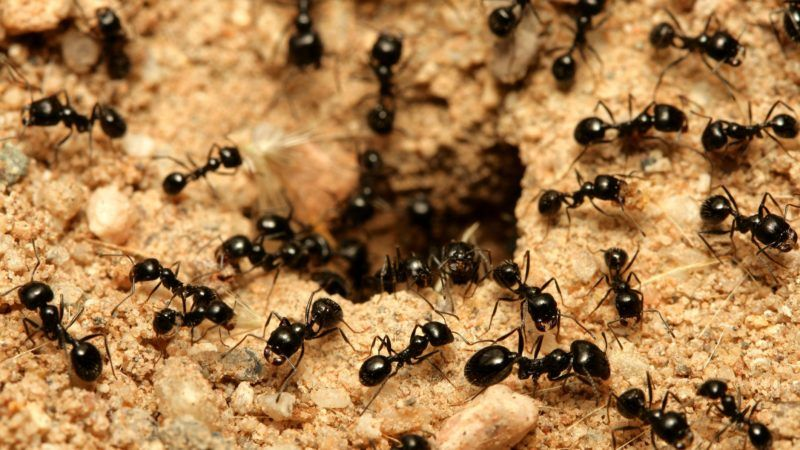 A macro shot of black ants working together.