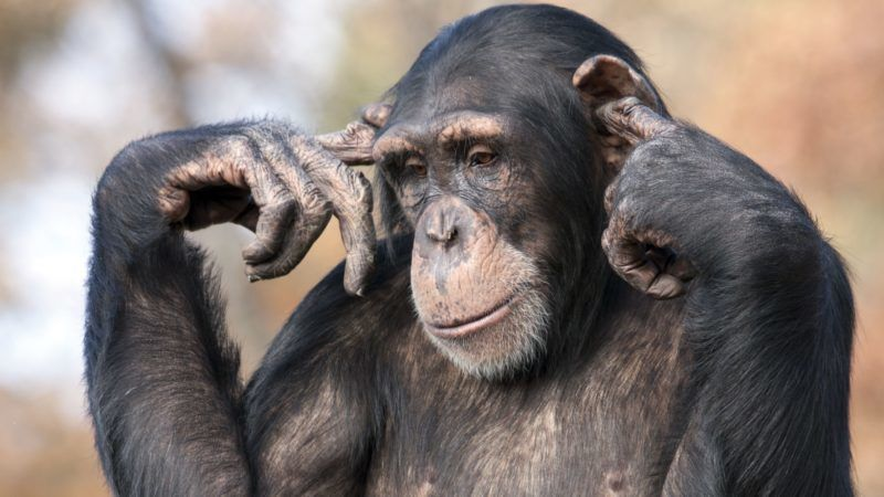 Chimpanzee with fingers in it's ears.