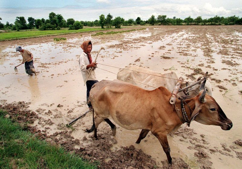 """A Cambodian man standing on a harrows works the paddy field with his team of oxen while a woman breaks up large clumps of mud with a hoe in preparation for rice planting in what is describes as 'the first of the wet season's planting"""", in the Kandal Stung district south of Phnom Penh, 01 July, 1999.  The rice, grown in this district, is purely for domestic use by local families.        AFP PHOTO/Rob ELLIOTT (Photo by ROB ELLIOTT / AFP)"""