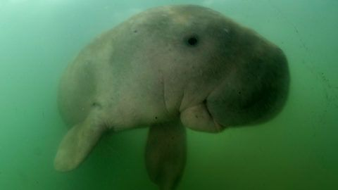This picture taken on May 23, 2019 shows Mariam the dugong as she swims in the waters around Libong island, Trang province in southern Thailand. - An orphaned baby dugong rescued off a beach in Krabi province is Thailand's newest star, capturing the hearts of millions on social media and igniting an awarness for ocean conservation as authorities hand-raise the young mammal. (Photo by Sirachai ARUNRUGSTICHAI / AFP)